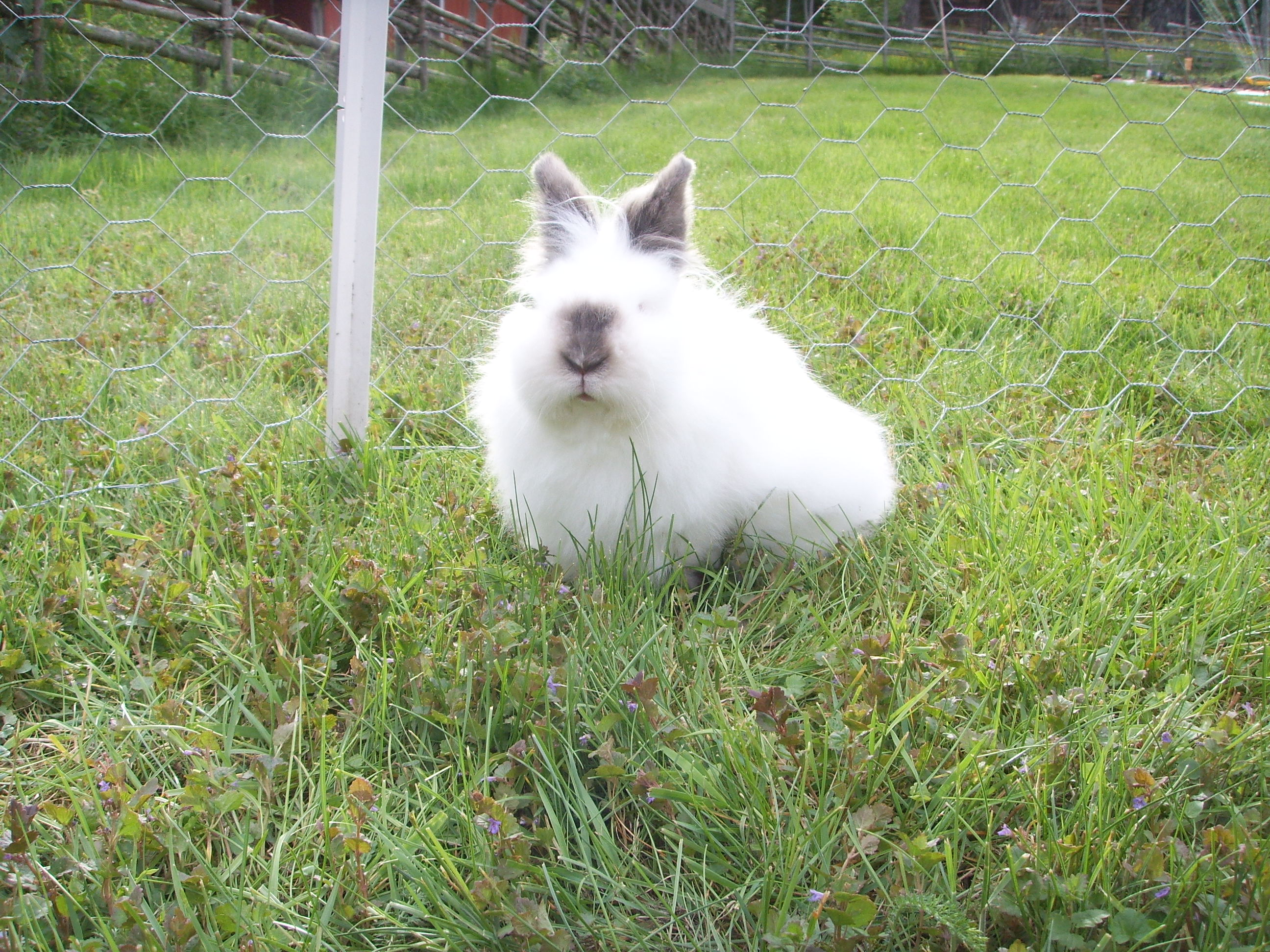 Brown and white lionhead rabbit - photo#3