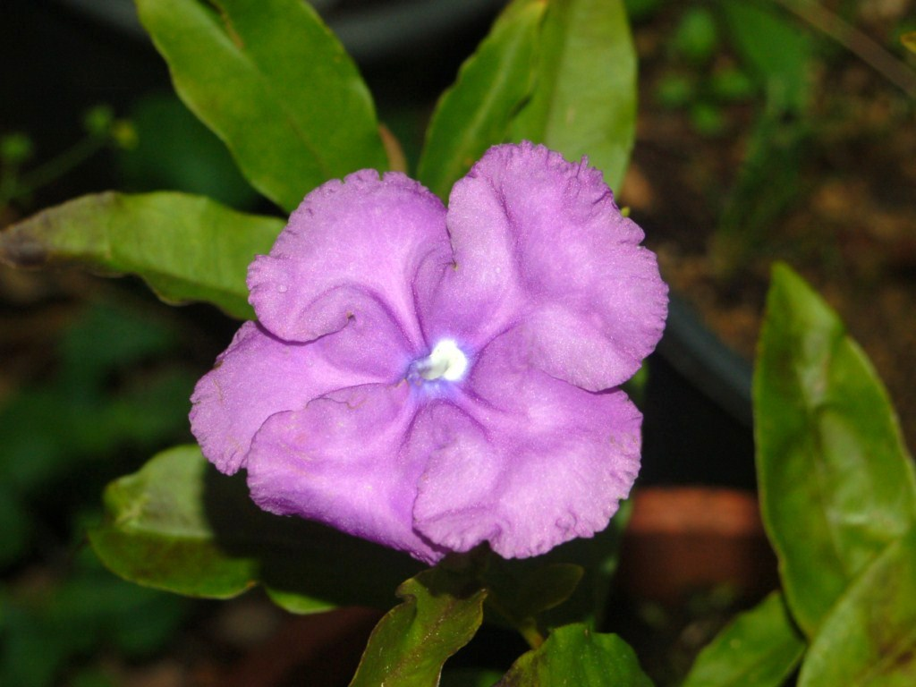 brunfelsia grandiflora