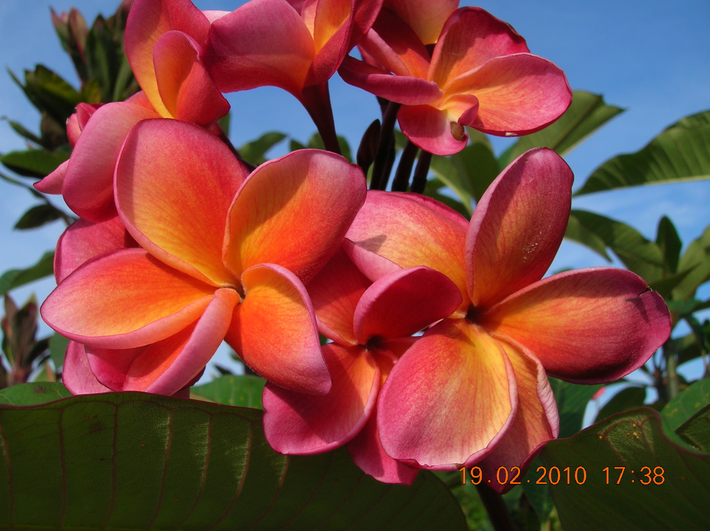 Description Bunga kemboja (Plumeria) merah.JPG