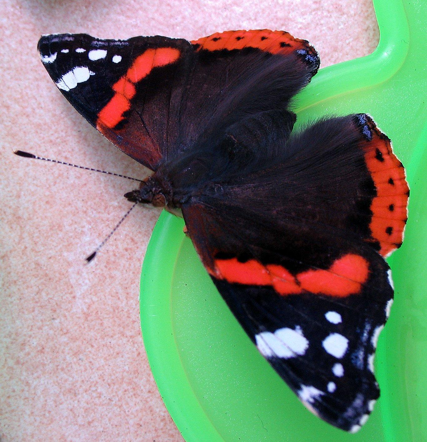 File:Butterfly-vulcan-papillon-vulcain-vanessa-atalanta ...