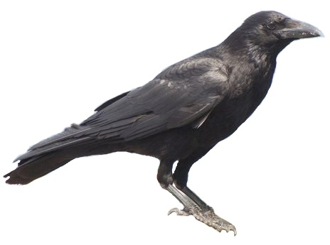 File:Carrion crow 20090612 white background.jpg - Wikimedia Commons
