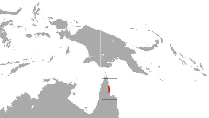 Depiction of Antechinus leo