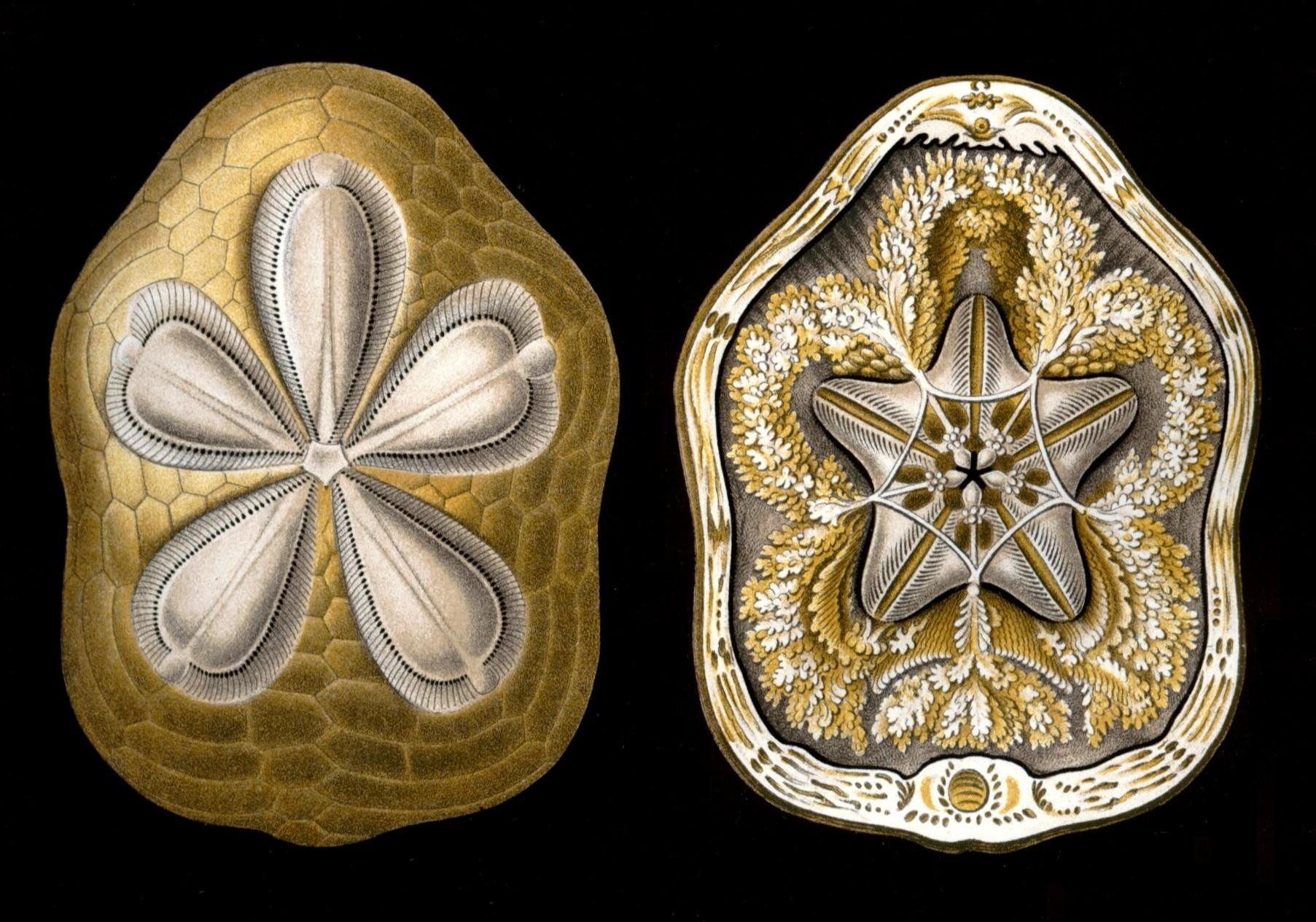 Clypeaster Rosaceus Linnaeus C Derivate