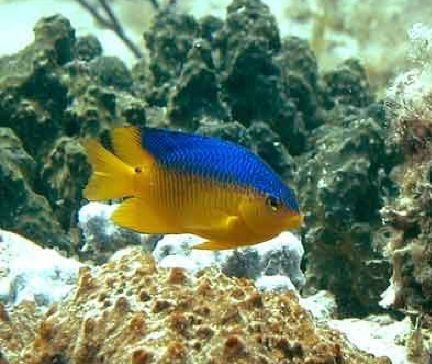 File:Cocoa damselfish.jpg