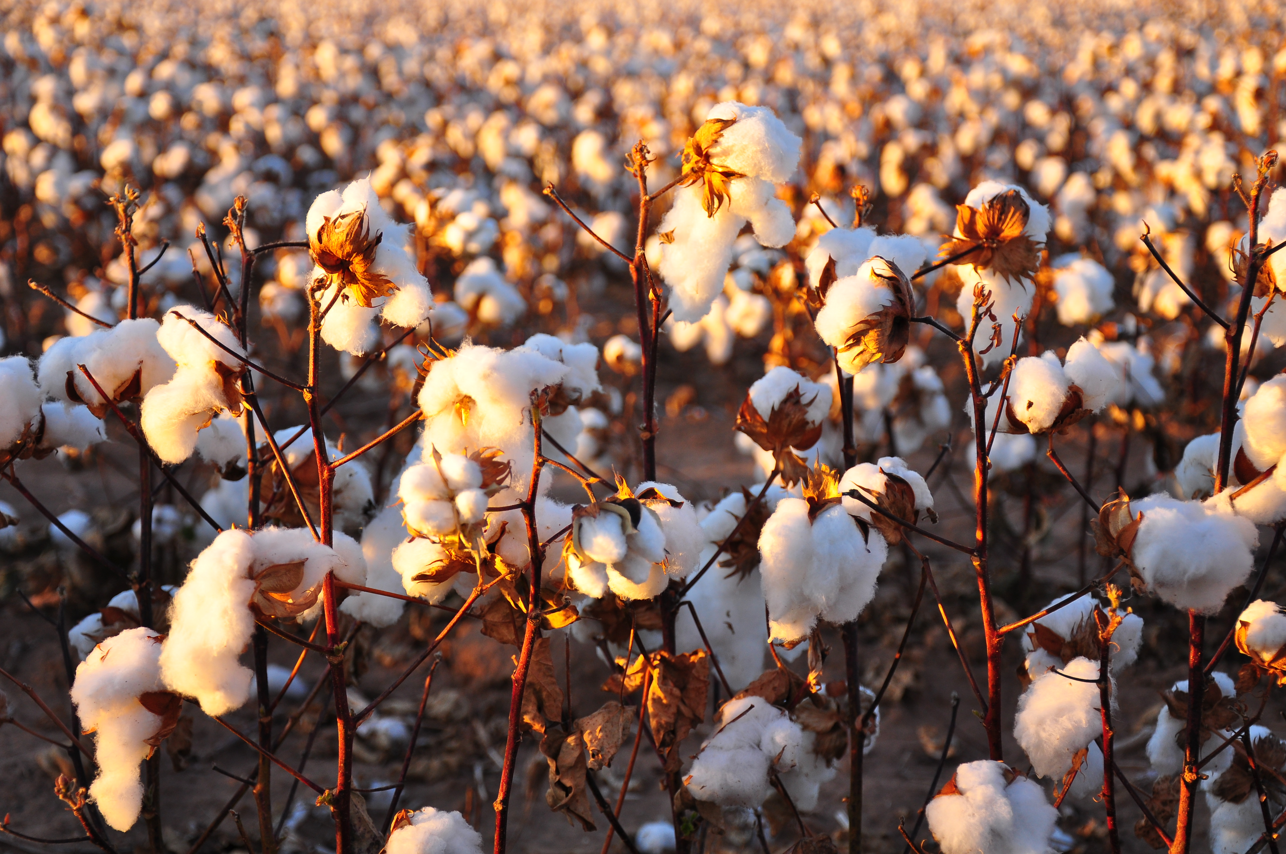 bt cotton Cotton seed associations who have been asking the government to increase the seed price of the crop, say that they will not be able to sustain in the business and seed supplies might be impacted this year.
