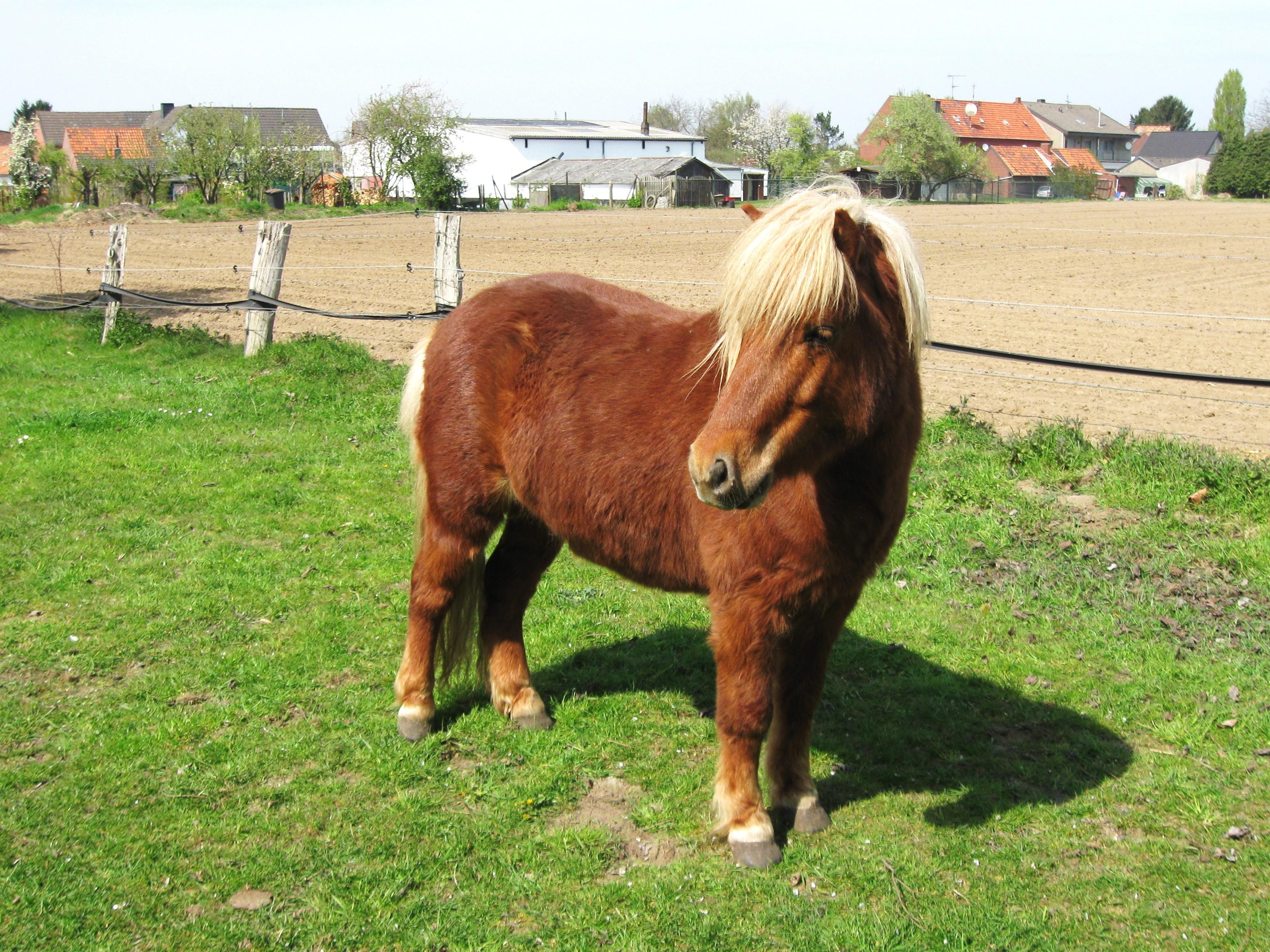 A cross-bred Shetland pony