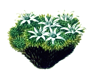 Species of cushion plant