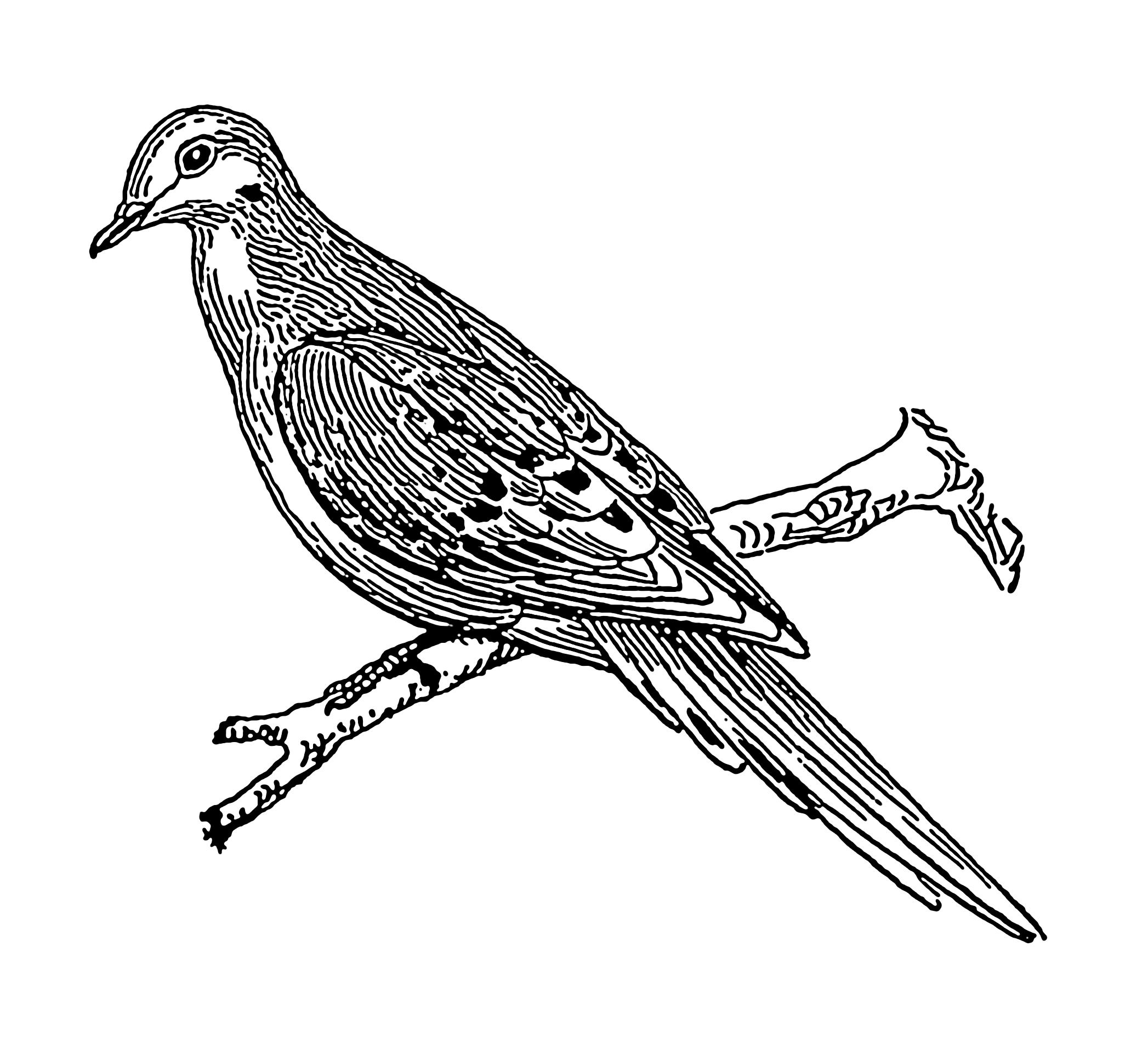 Line Art Dove : File dove psf wikimedia commons