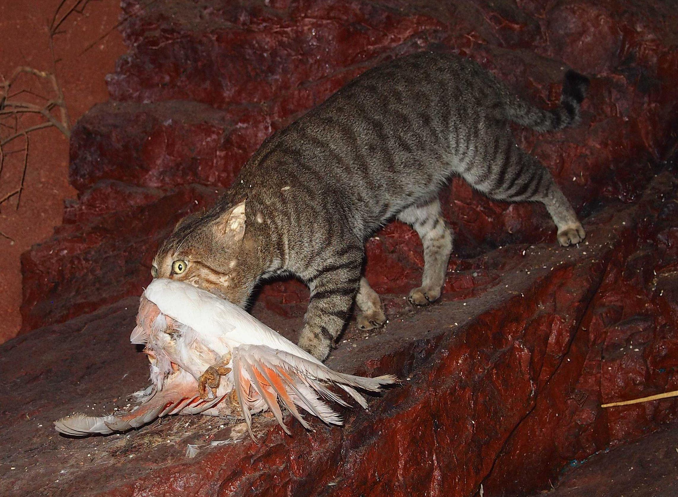 Feral Cats Killing Wildlife Australia