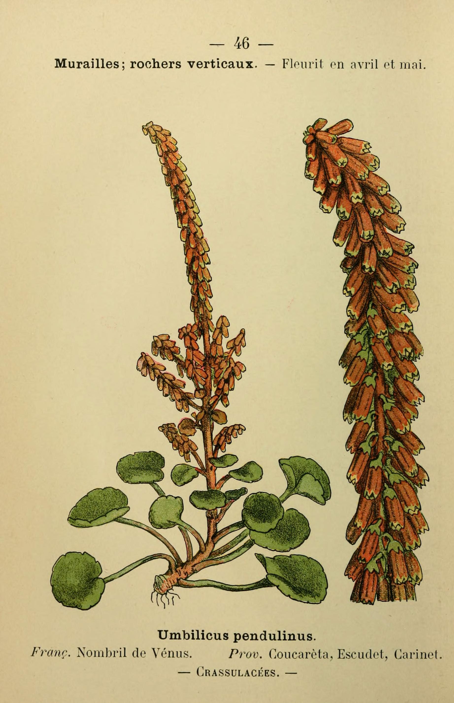 Umbigo-de-vénus