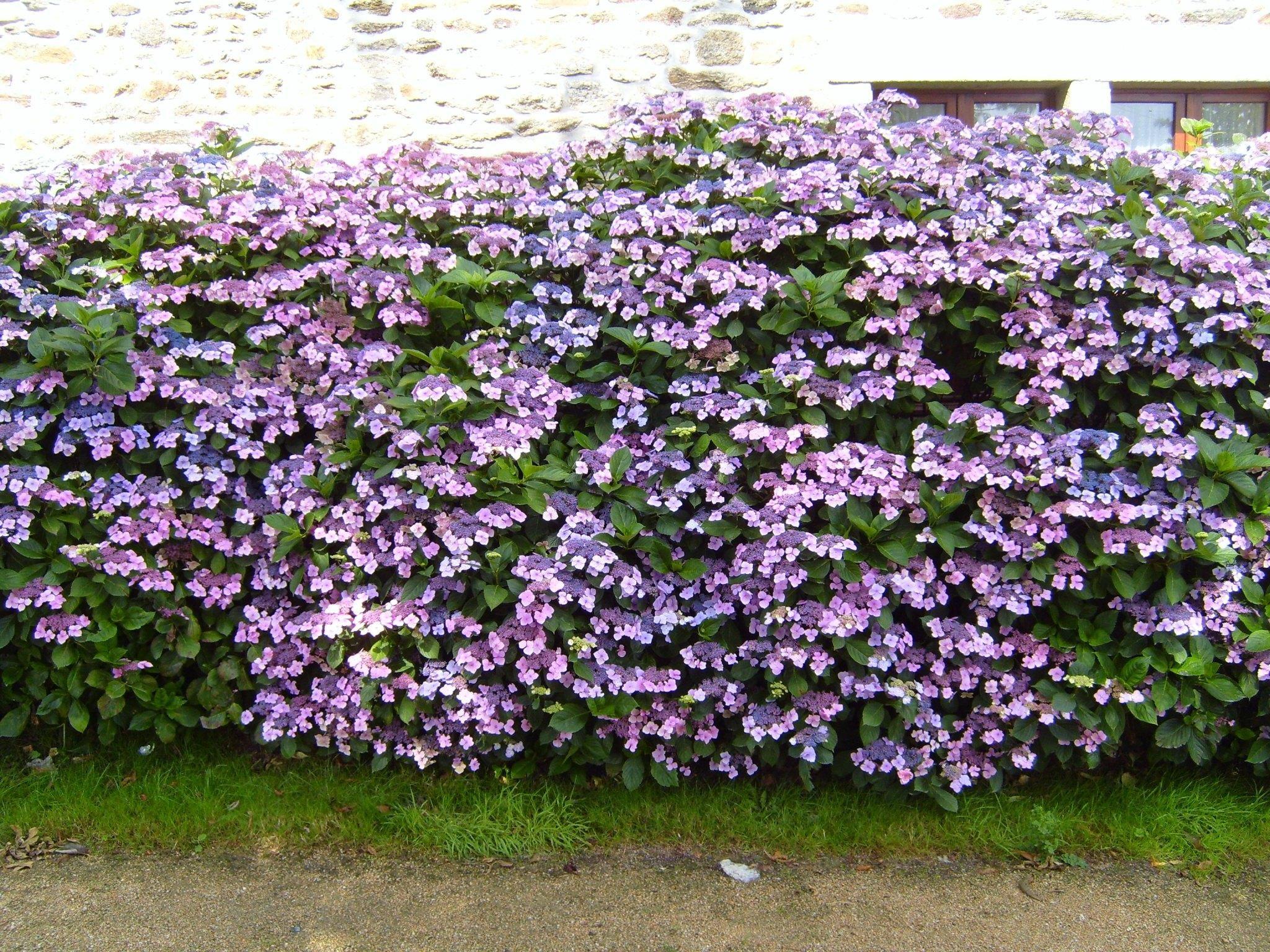 File:Flowered hedge flowers hydrangea.jpg - Wikimedia Commons