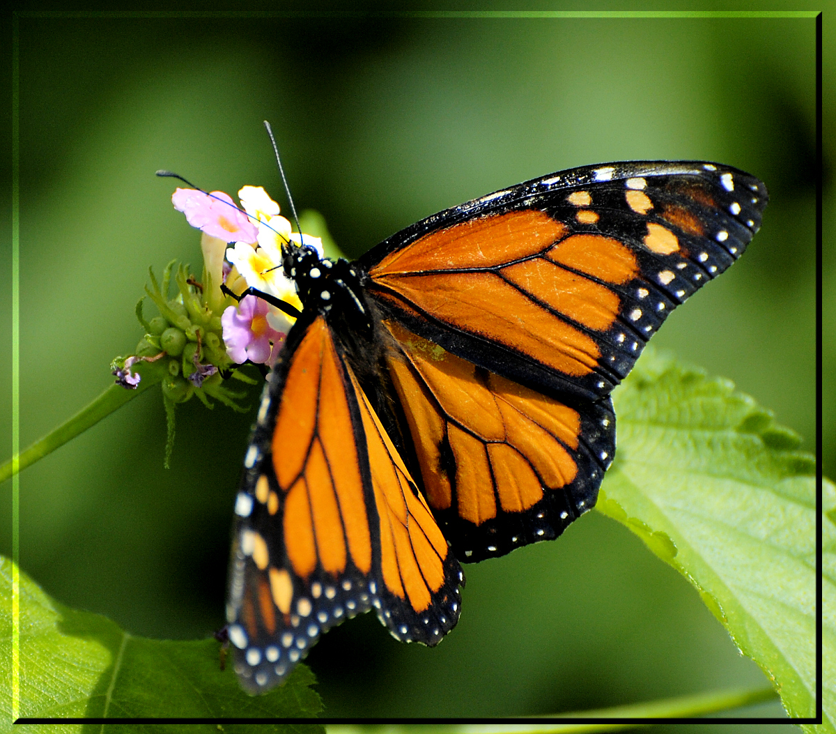 File:Fmc.nikon.d40 - Butterflie (by-sa).jpg - Wikimedia Commons