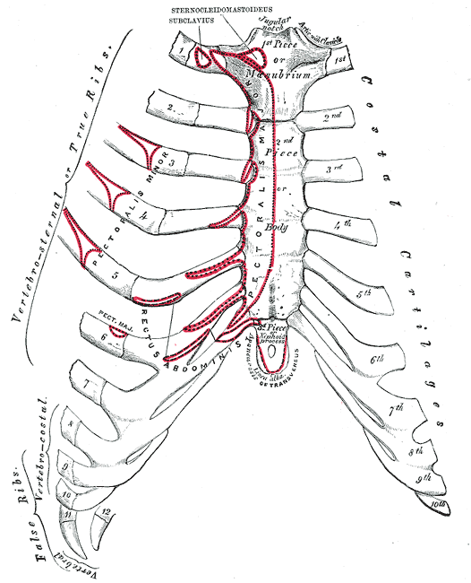 Costal margin anatomy