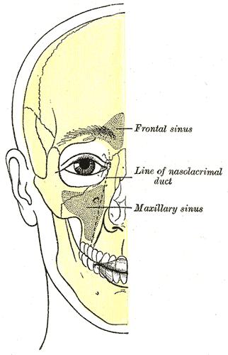 Maxillary sinus @ wiki