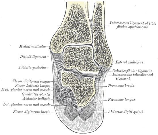 Malleolus - Wikipedia