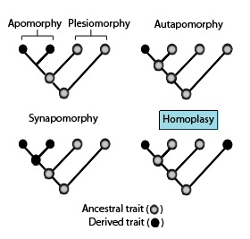 Homoplasy gain or loss of the same trait independently in separate lineages over the course of evolution