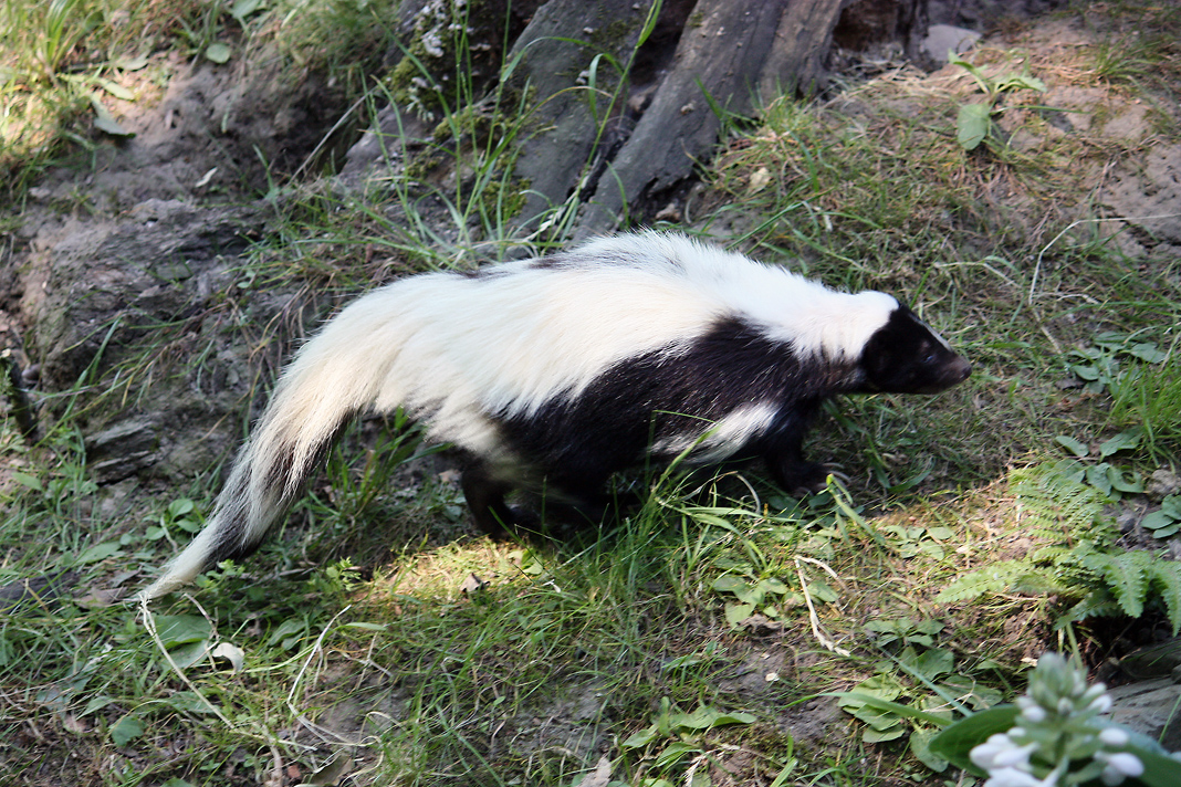 Hooded Skunk observed by sandra_liliana · iNaturalist.org