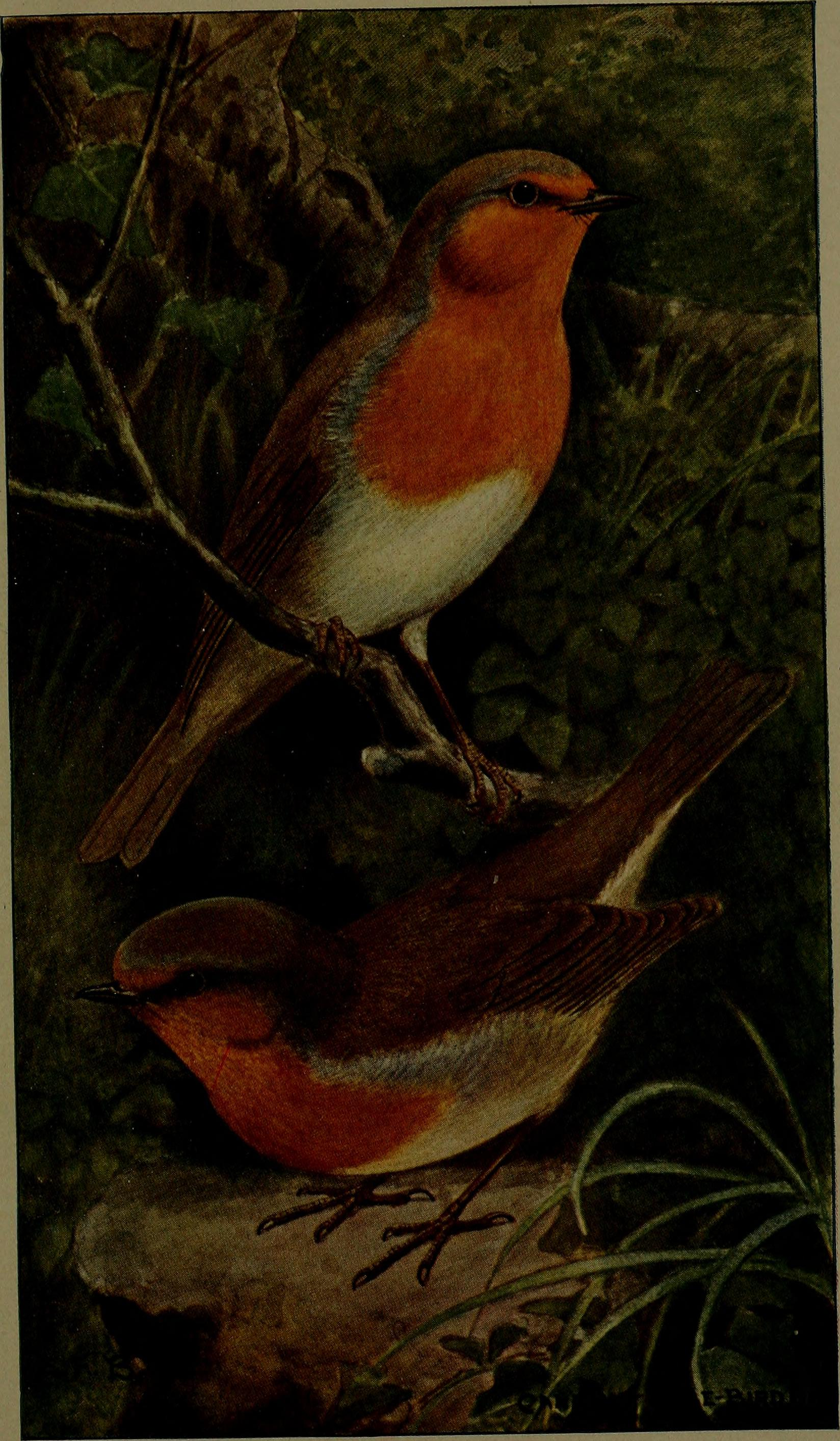 """G. (Arthur Gardiner), 1844-1925 Subjects: Cage birds Sex Publisher: London, """"The Feathered world"""", """"Canary and cage-bird life"""" View Book Page: Book Viewer"""