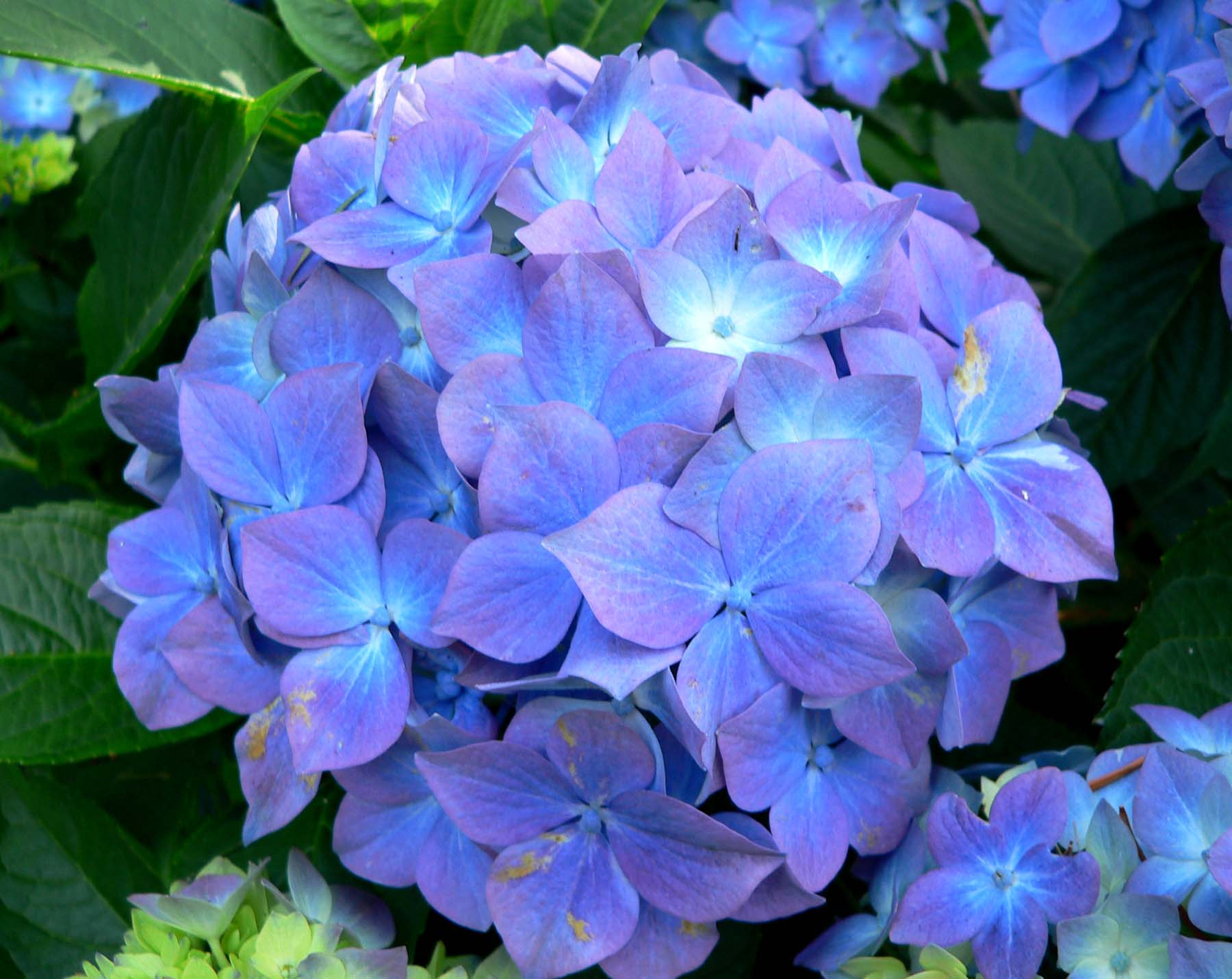 hydrangea macrophylla 39 blauer prinz 39 blauer prinz. Black Bedroom Furniture Sets. Home Design Ideas
