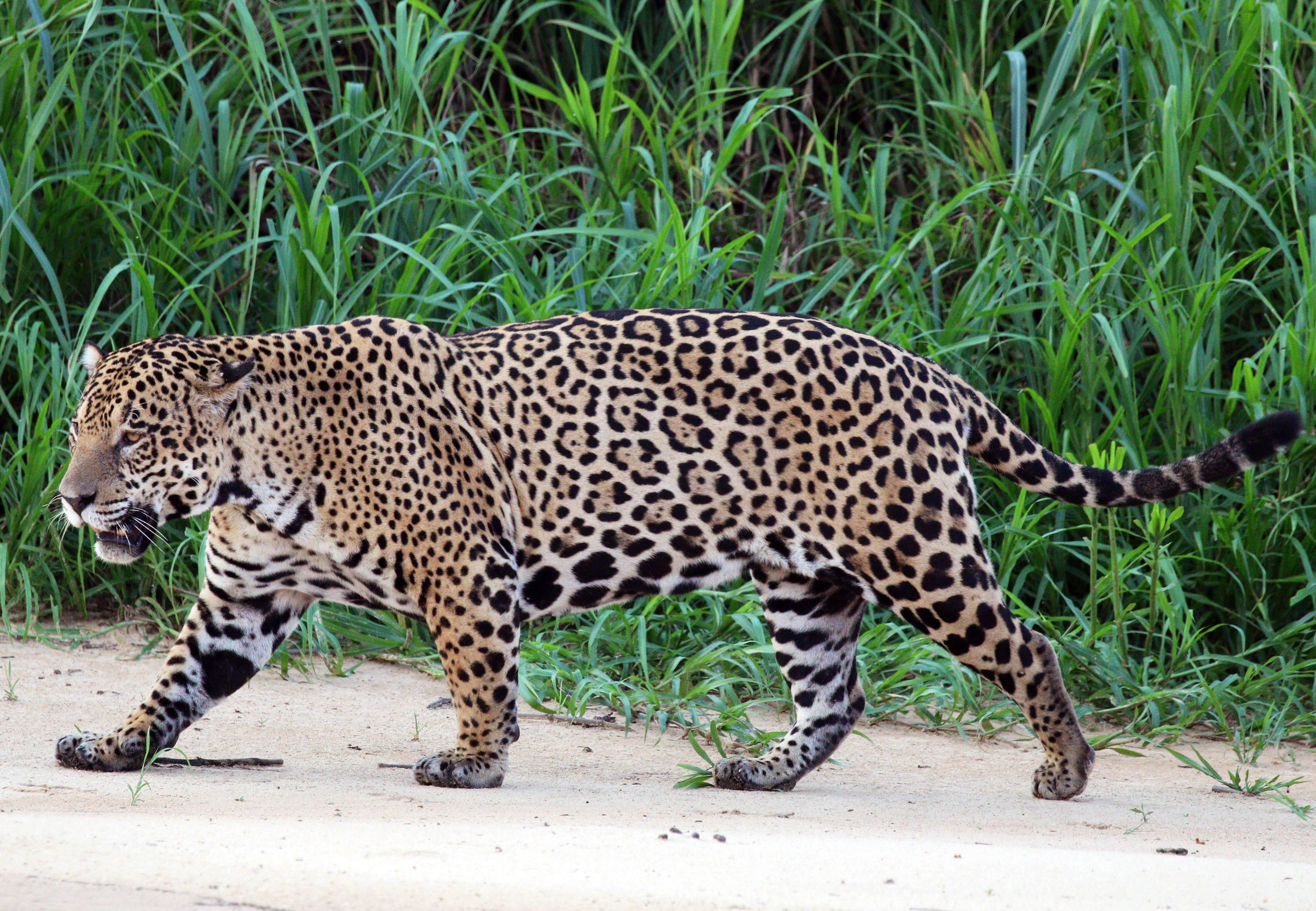 Good Asian cat leopard