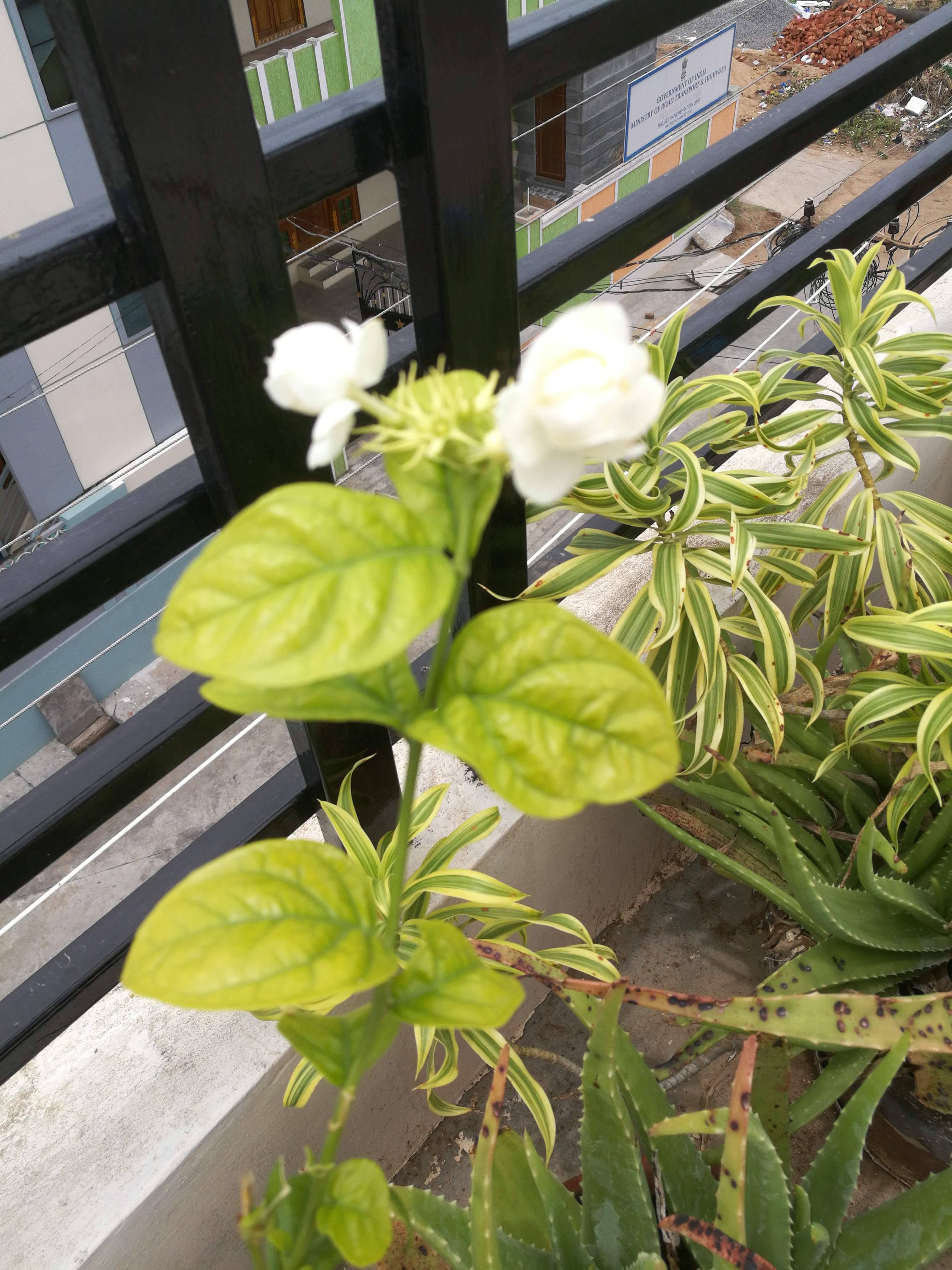 Filejasmine Flower Plantg Wikimedia Commons