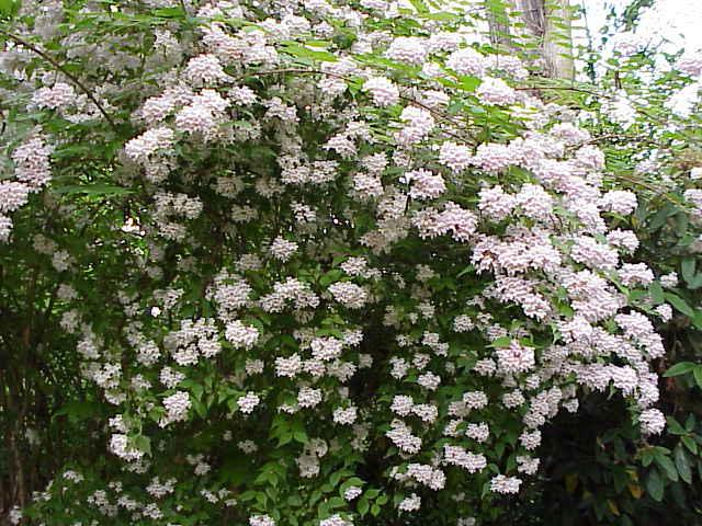 le magnifique houppier du kolkwitzia en fleurs