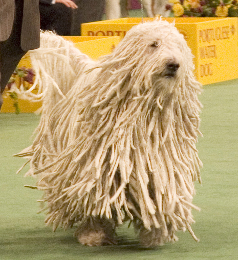 Description Komondor Westminster Dog Show crop.jpg