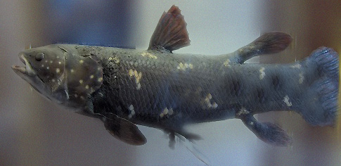 According to Shelley (2003), the study of the coelacanth drew heavily on analogies from other fish.