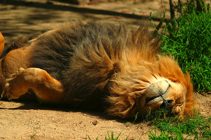File:Lightmatter lion catnap.jpg
