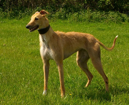 Whippet Dogs For Sale Australia