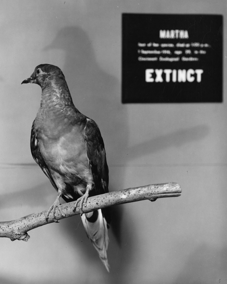 Martha, a Passenger Pigeon