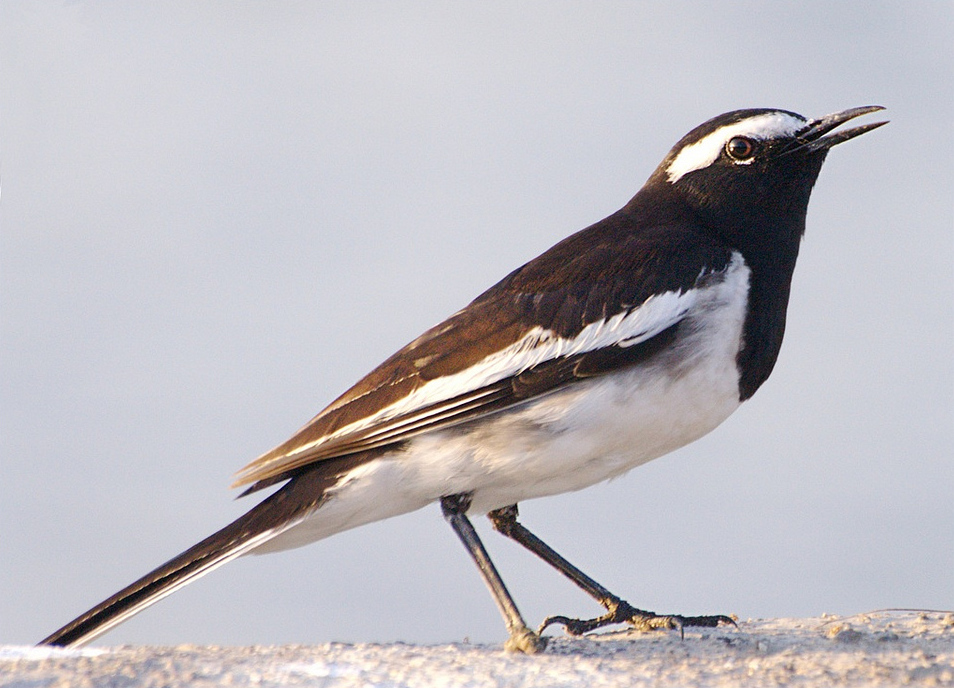 White Browed Wagtail Wikipedia