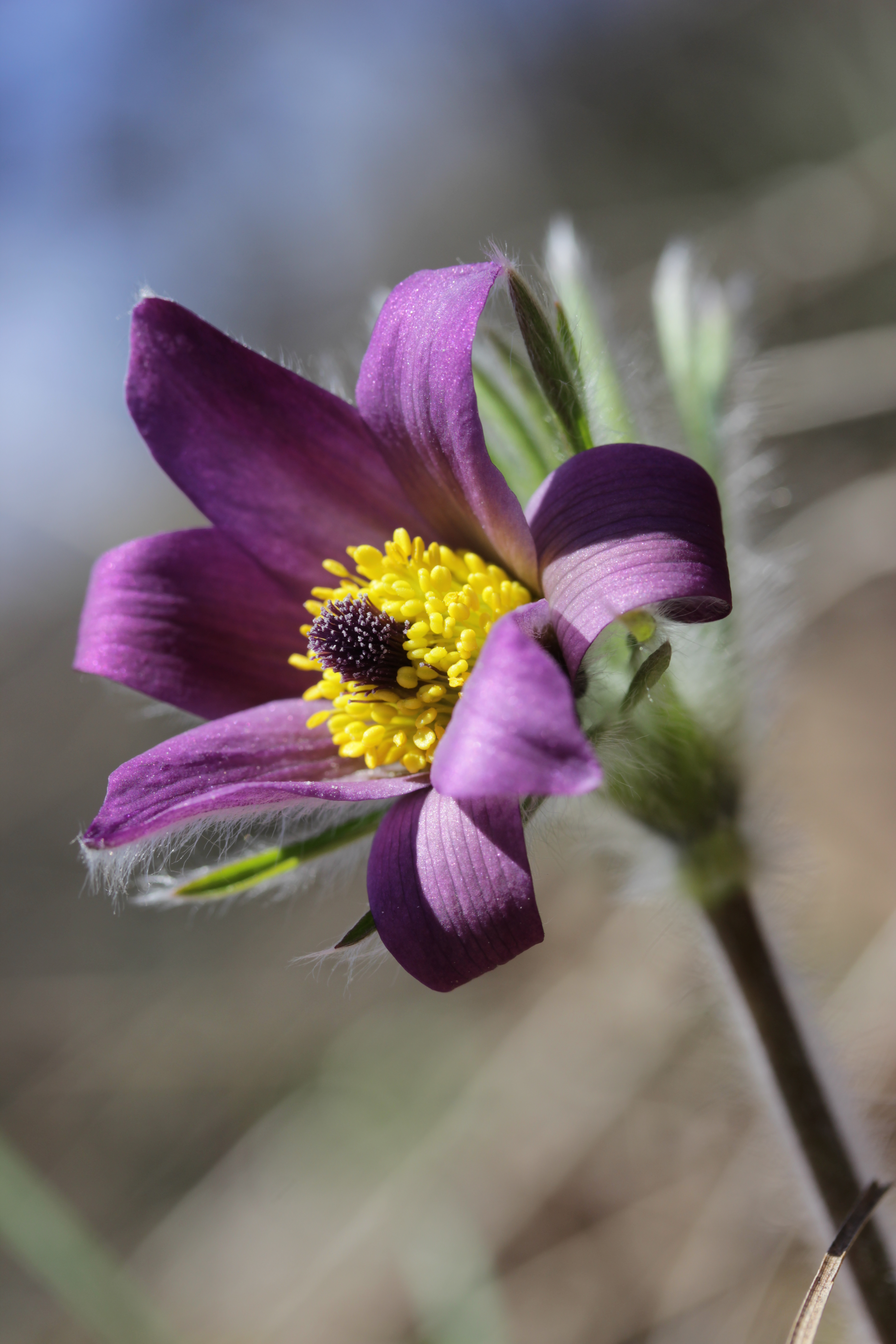 Pasque Flower Meaning images