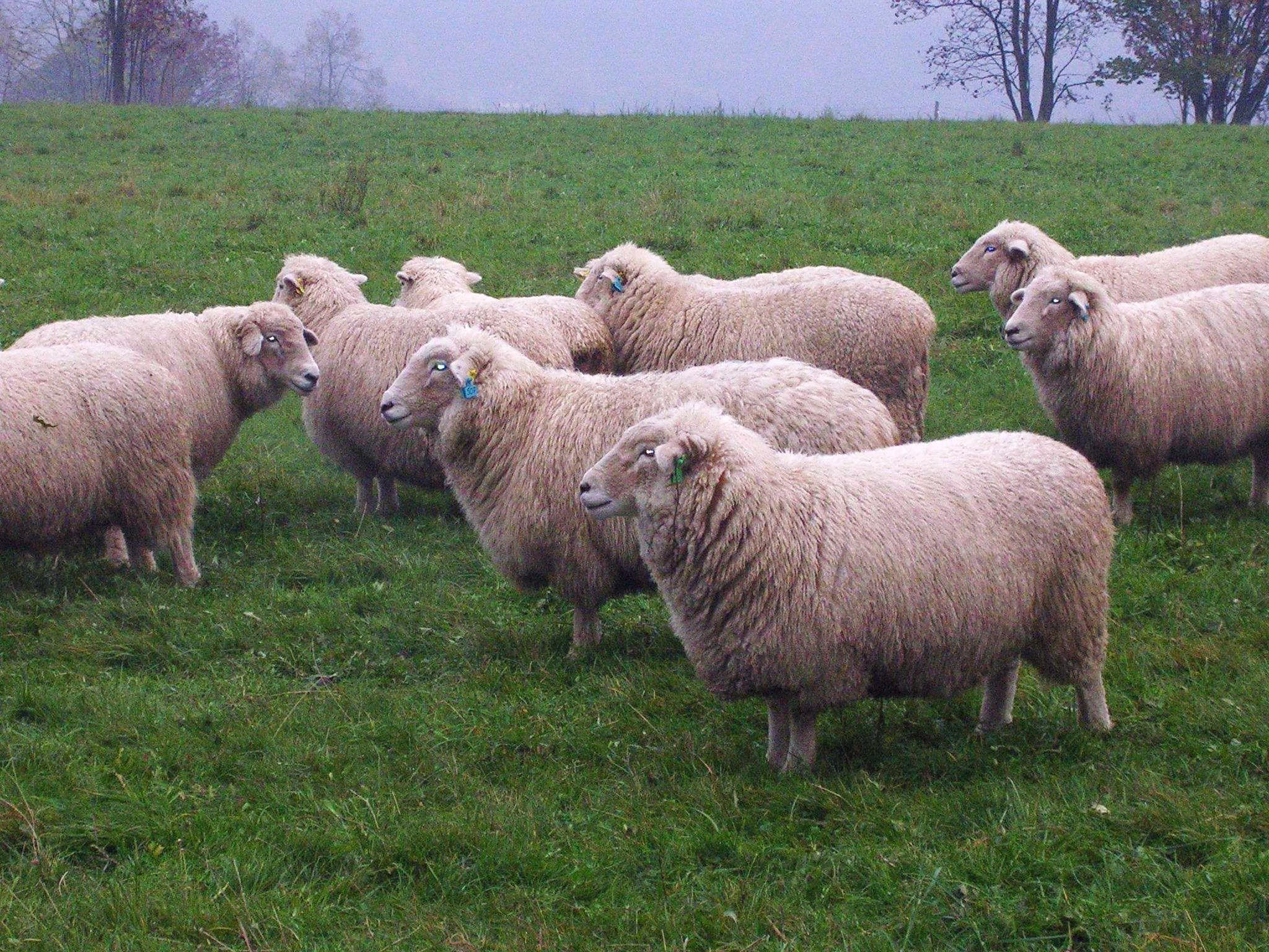 White sheep - photo#12