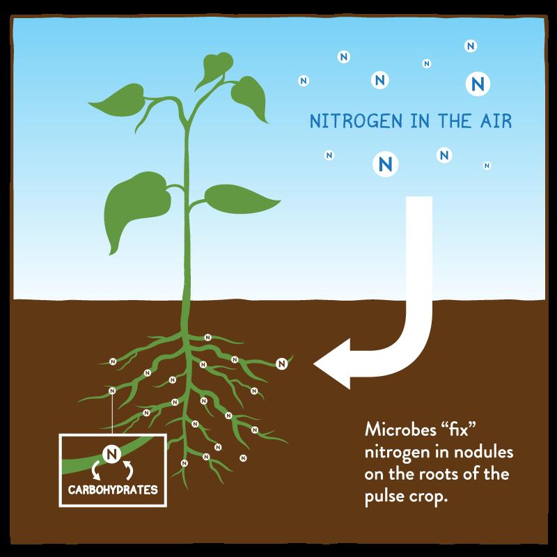 Nitrogen Fixation And Nitrogen Metabolism