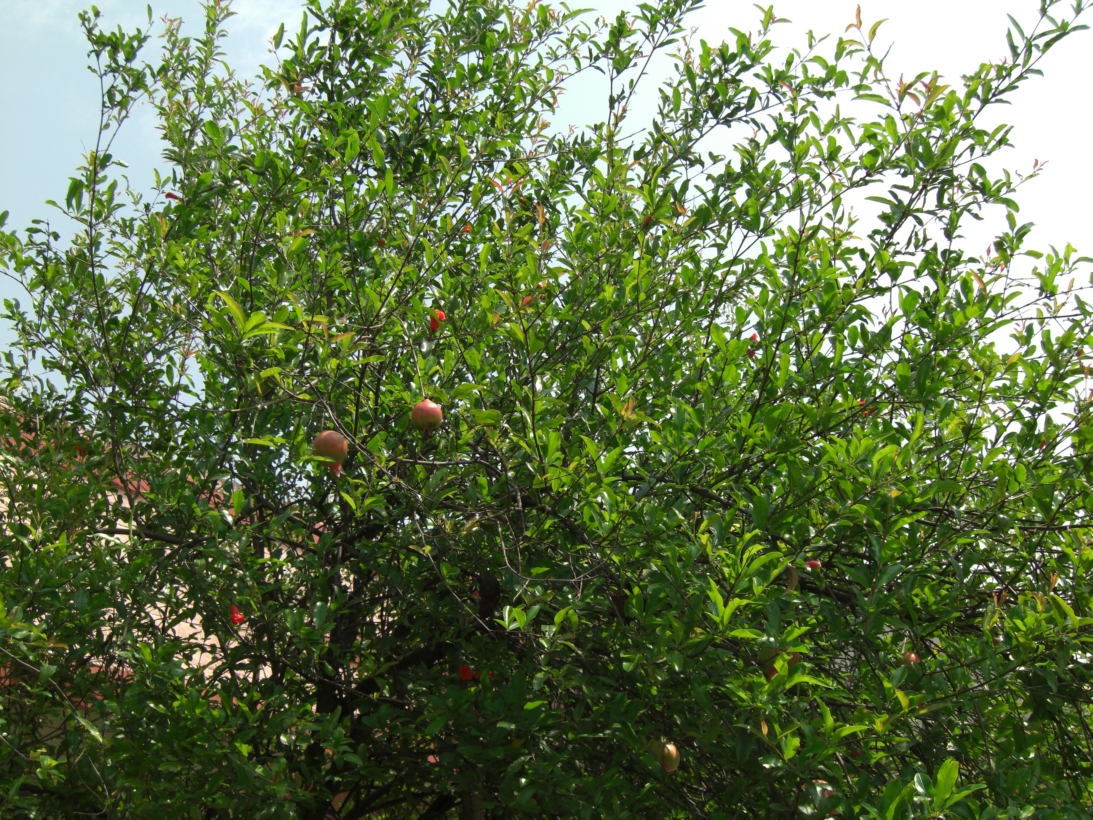 File:Pomegranate Tree.jpg - Wikimedia Commons