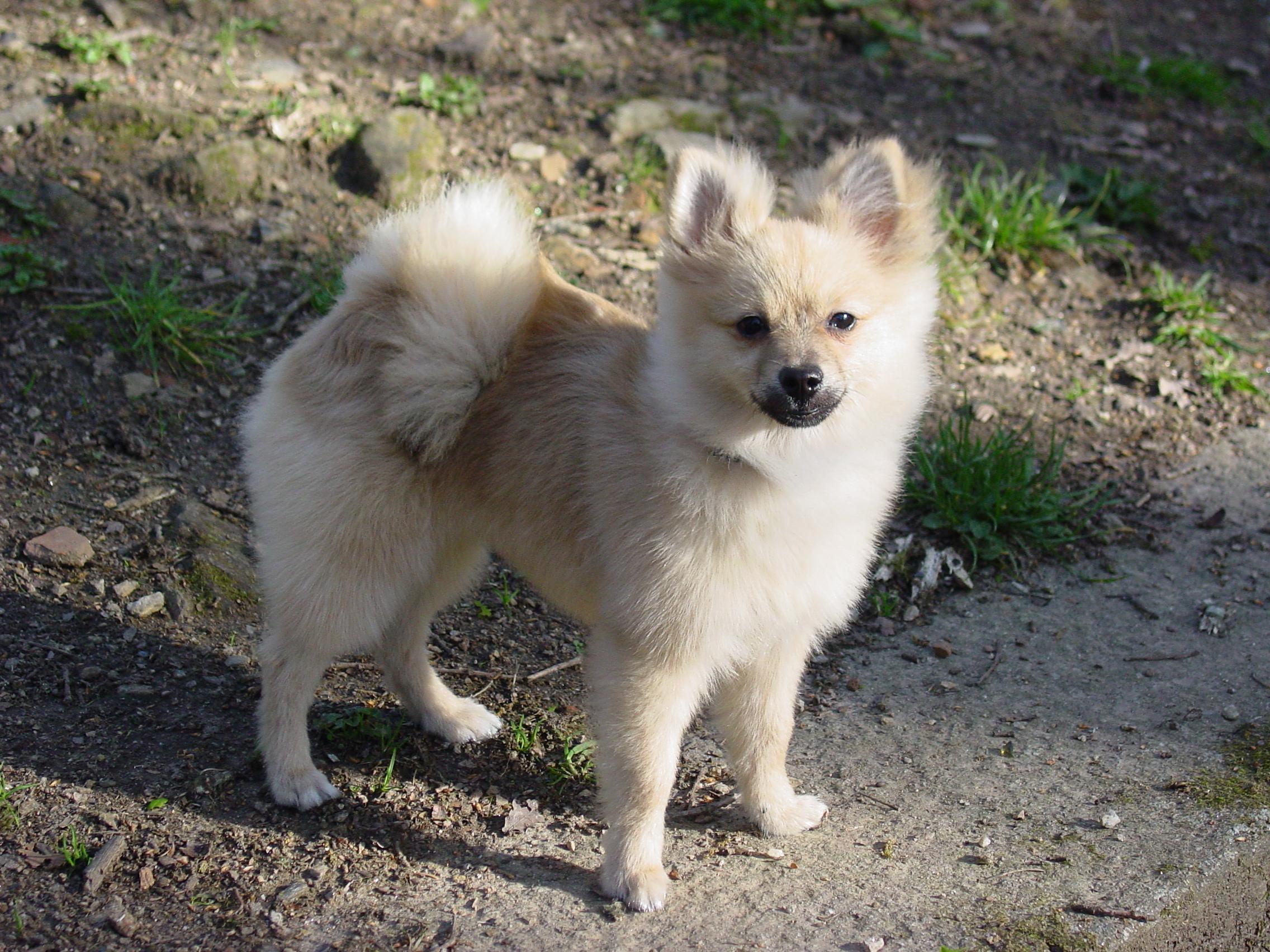 File Pomeranian Dog Jpg Wikimedia Commons