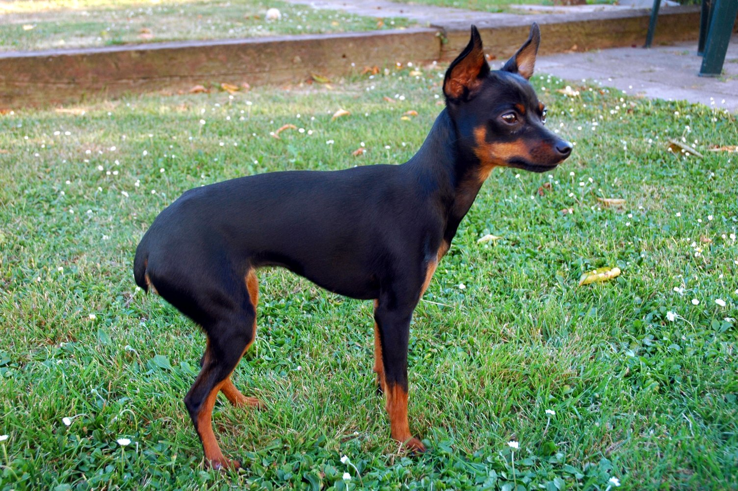 Miniature Pinscher Toy Breed Dogs