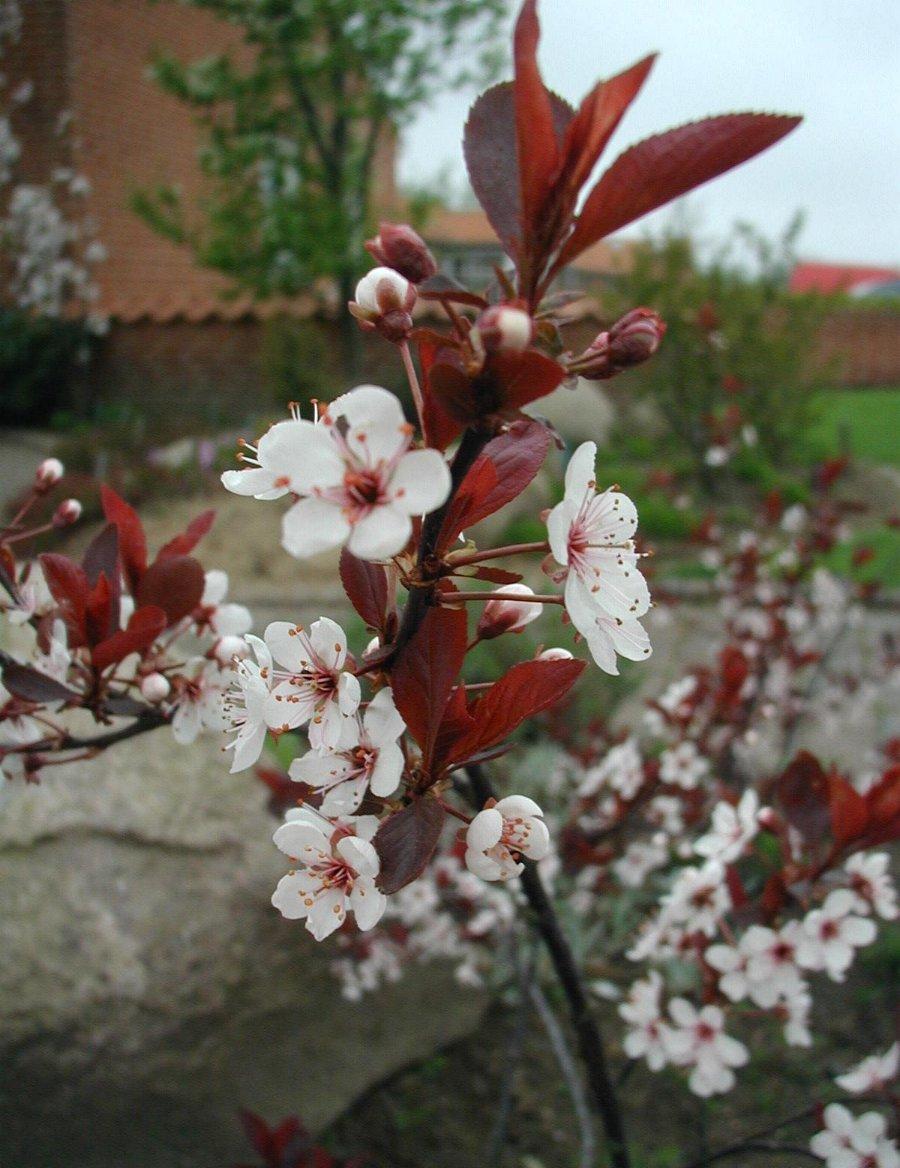 Prunus Cistena Wikipedia