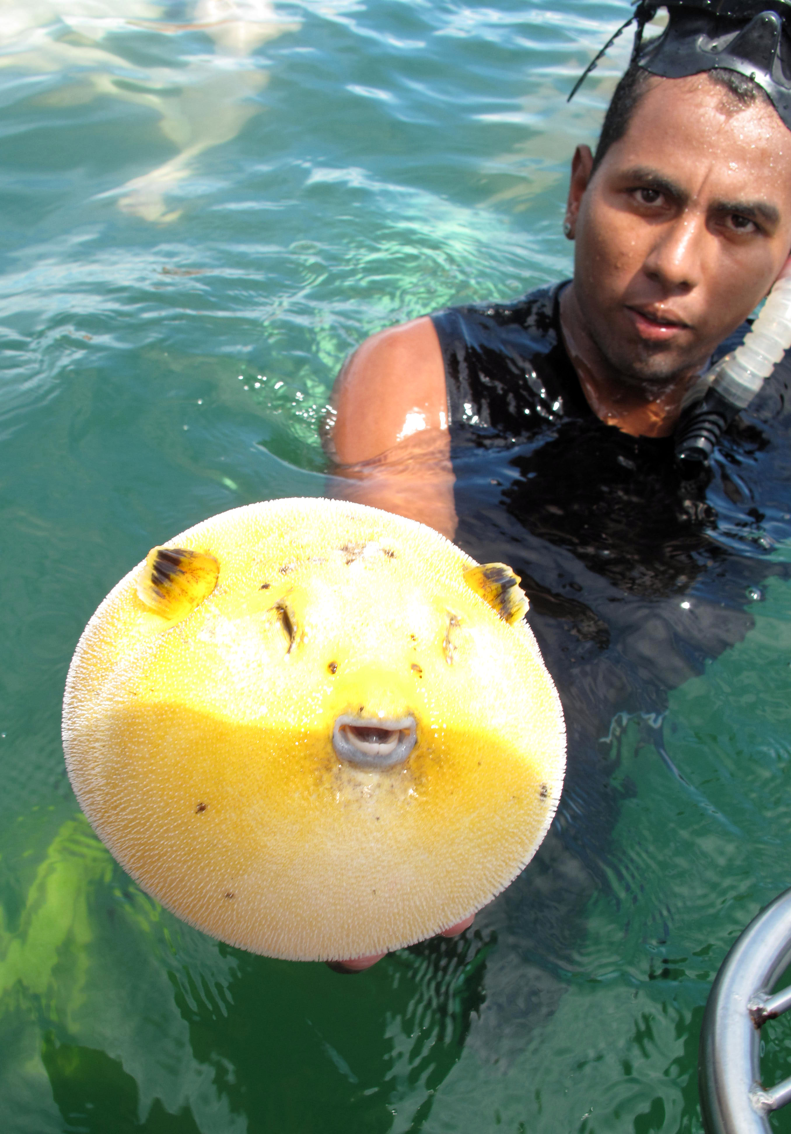 File puffer fish costa rica wikimedia commons for What is a puffer fish