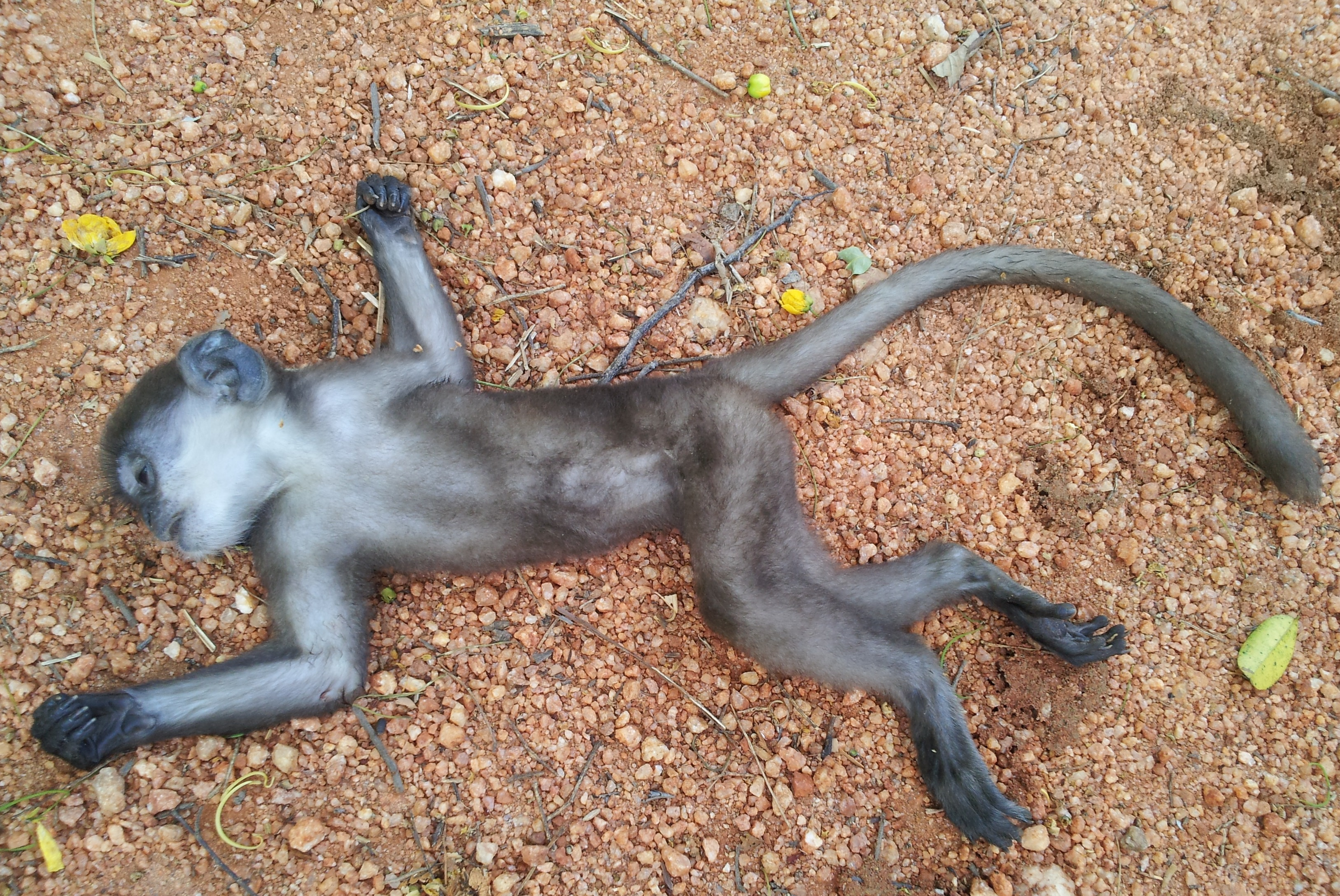 Image result for dead monkey