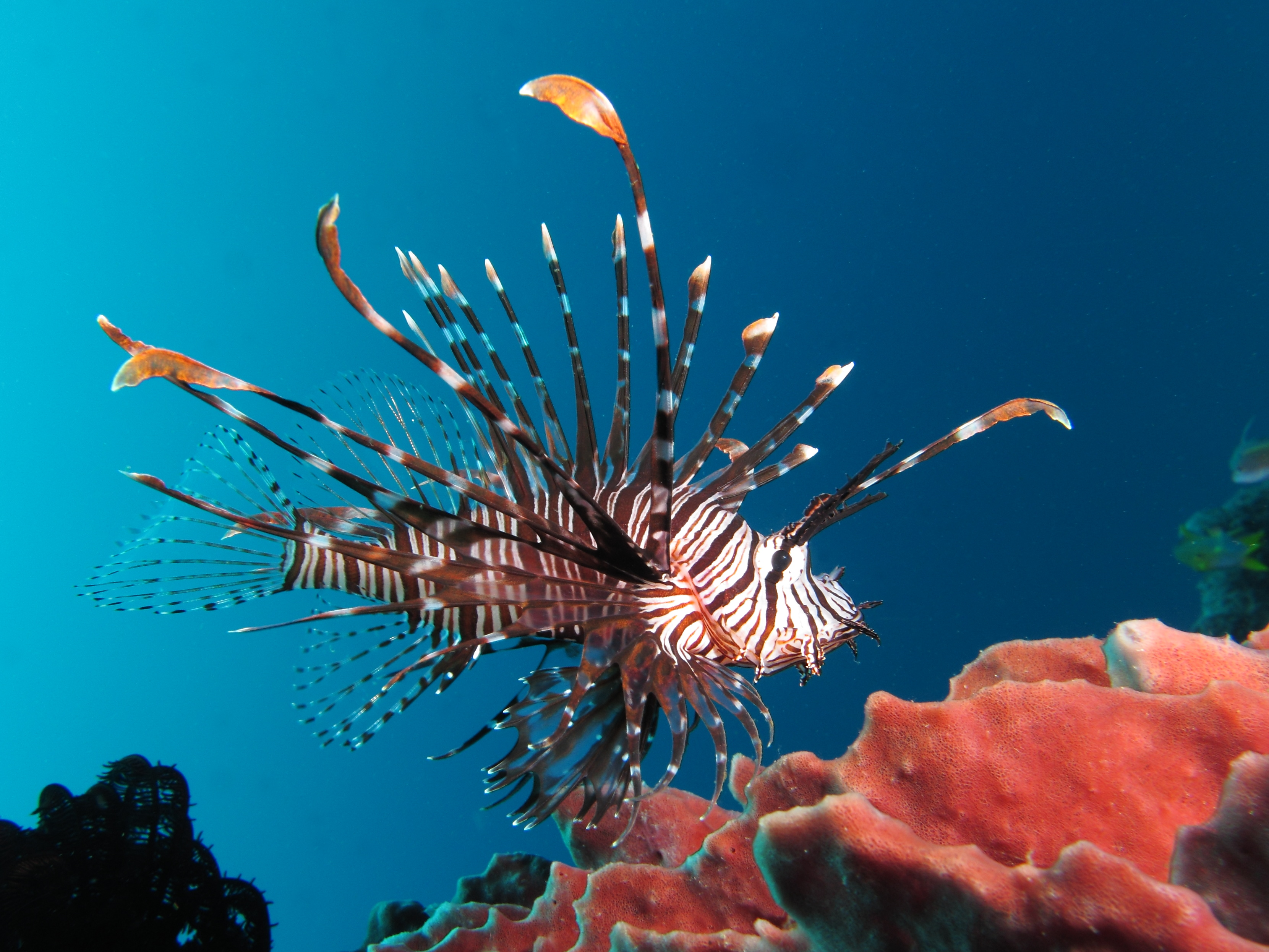 Red_lionfish_near_Gilli_Banta_Island.JPG