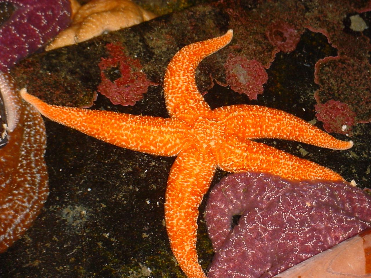 File:Sea stars of oregon.JPG - Wikimedia Commons