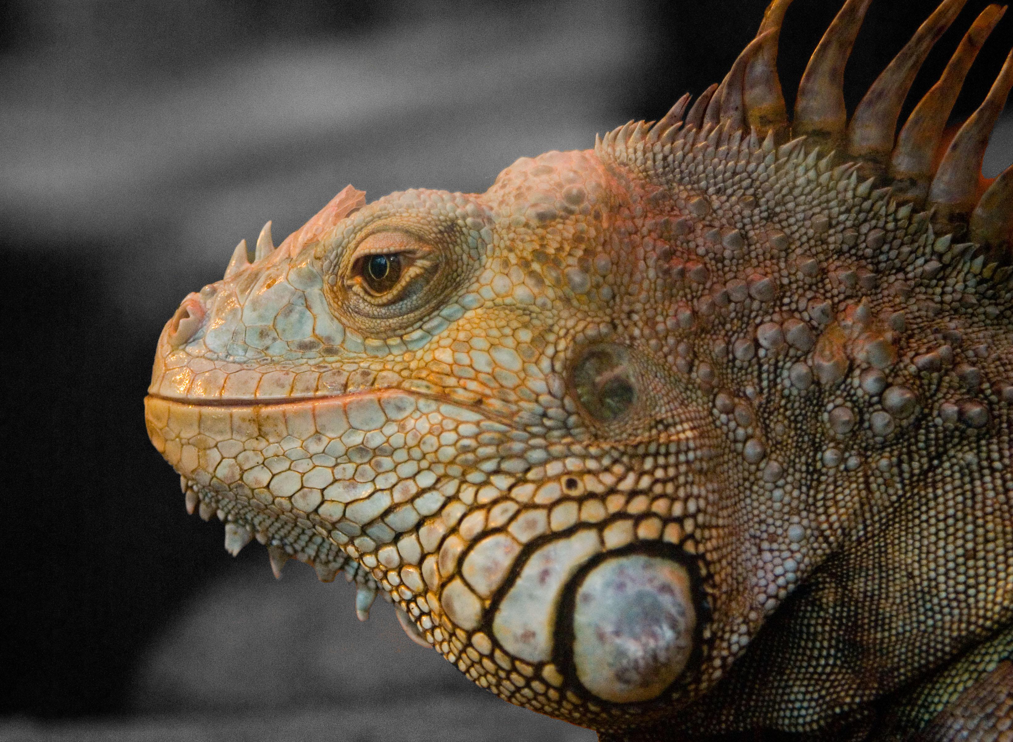 Reptilian neck fat.