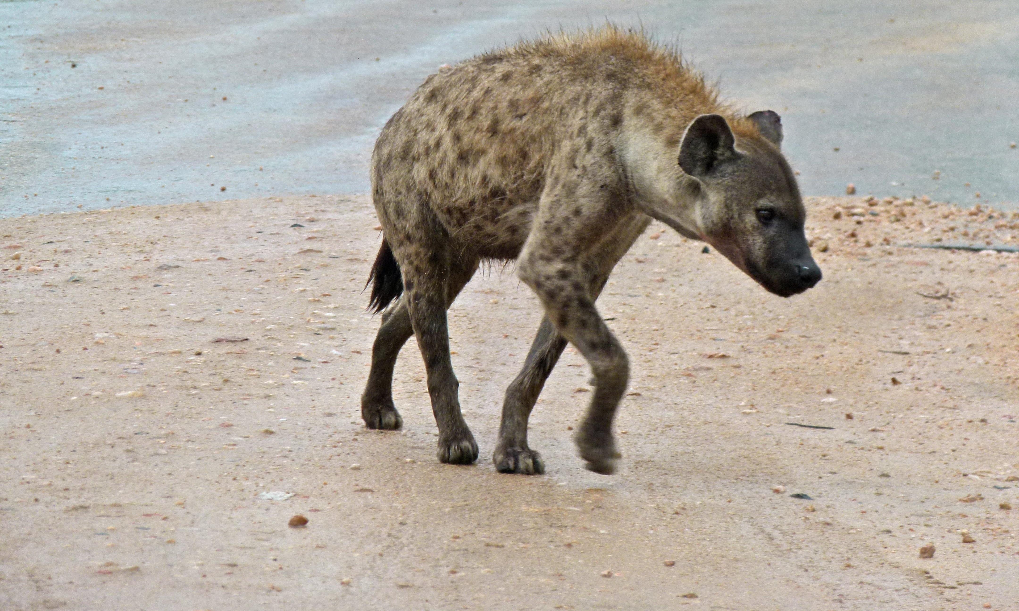 актерский гиена сутулая фото они сравняются друг