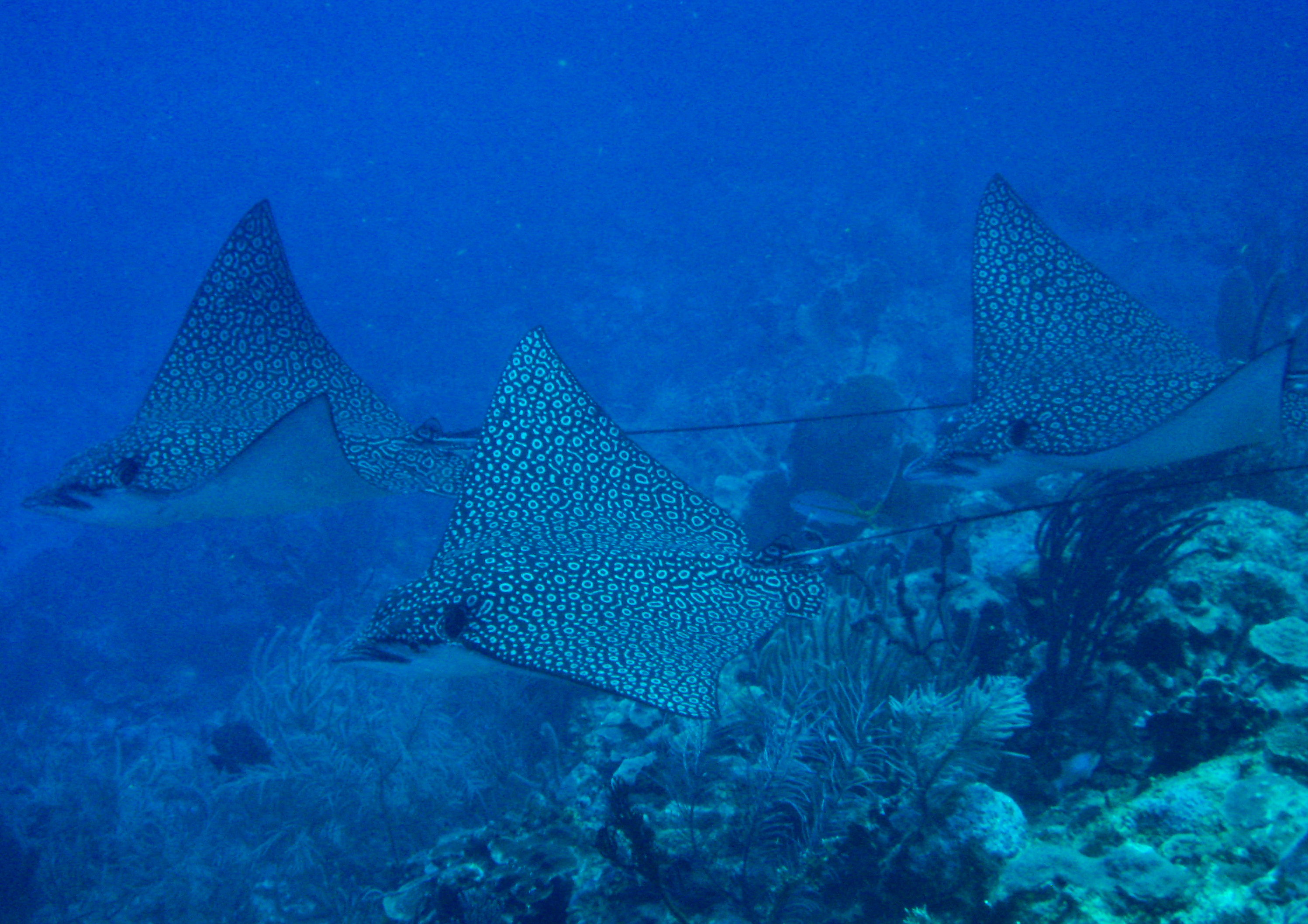 Spotted eagle ray coloring pages - Spotted Eagle Rays