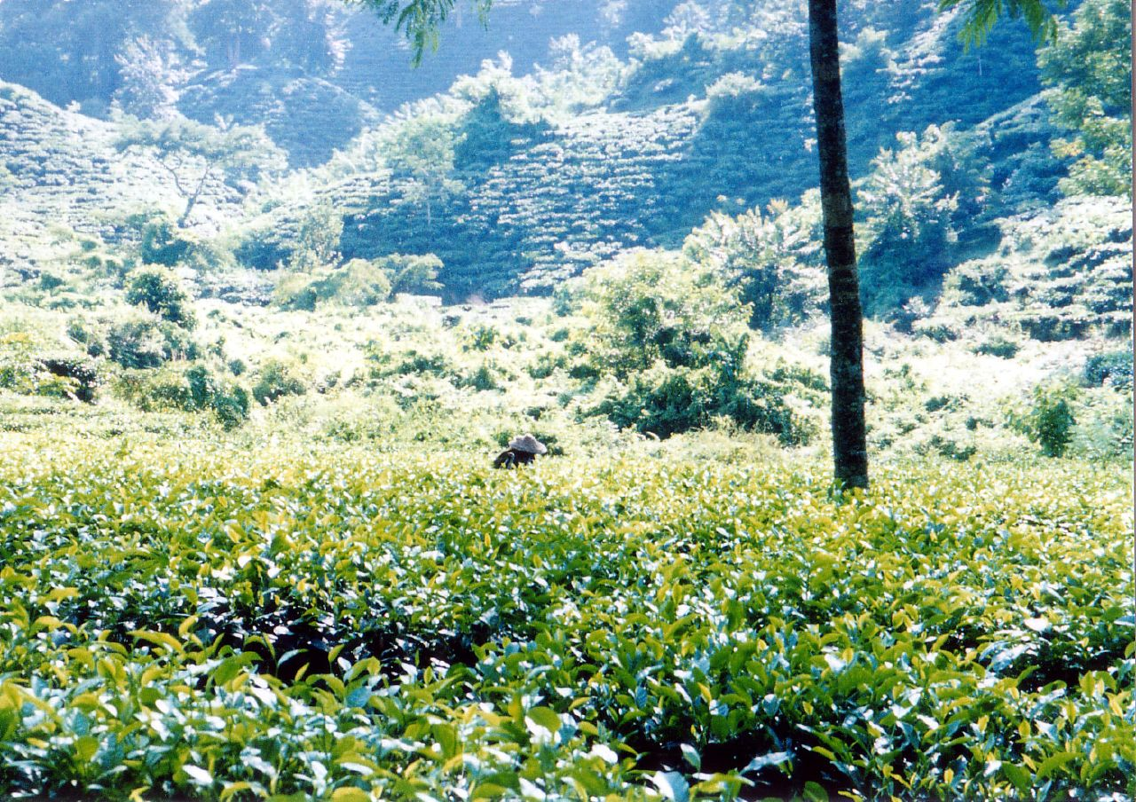 File:Srimangal Tea garden.jpg - Wikimedia Commonstea garden
