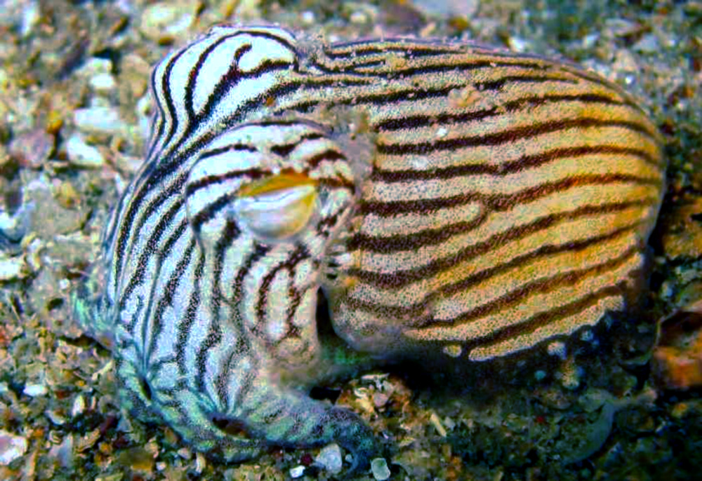 Cephalopods : Displaying 20> Images For - Cephalopods...