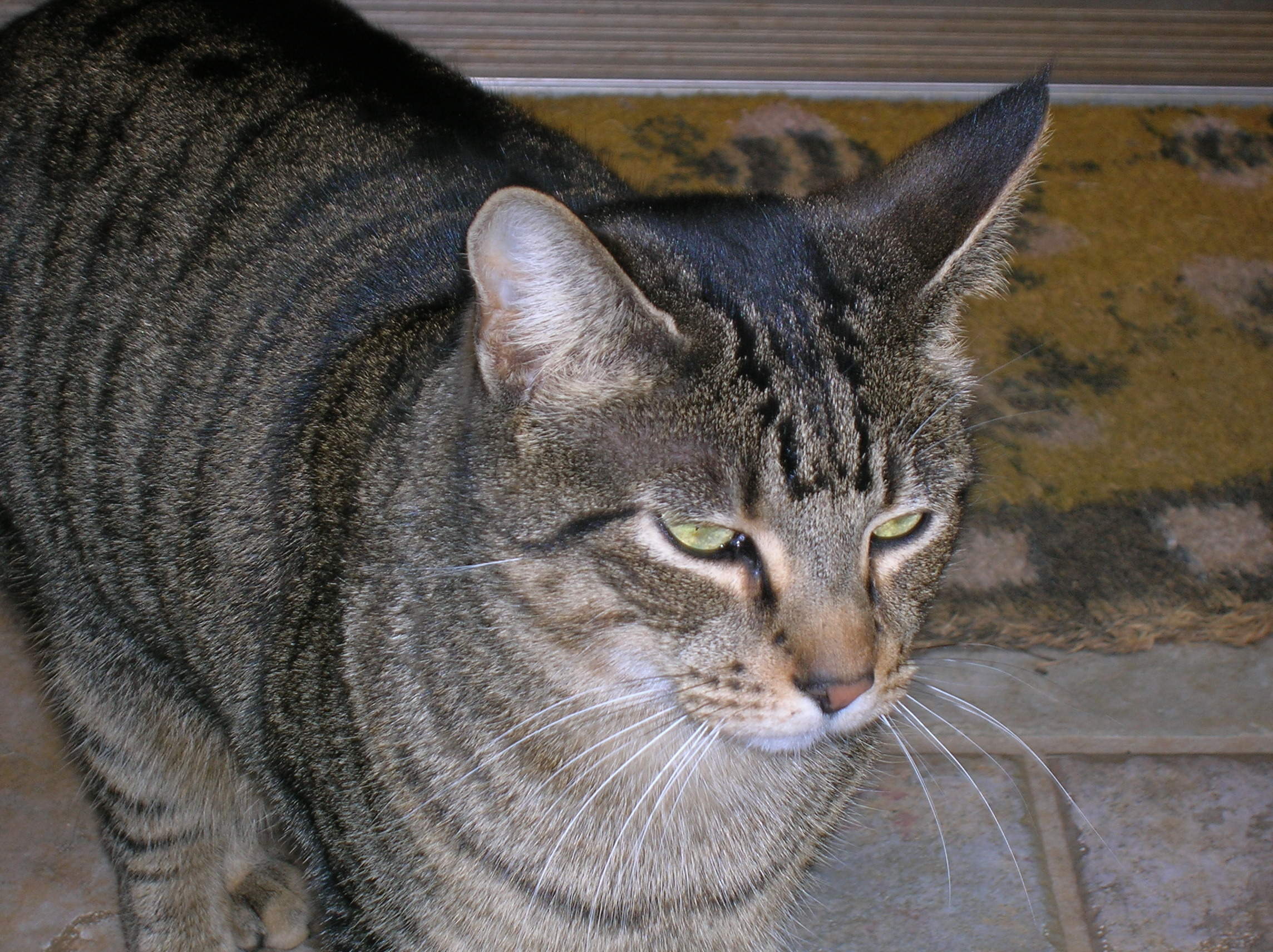 File:Tabby-cat.jpg - Wikipedia Tabby Cat