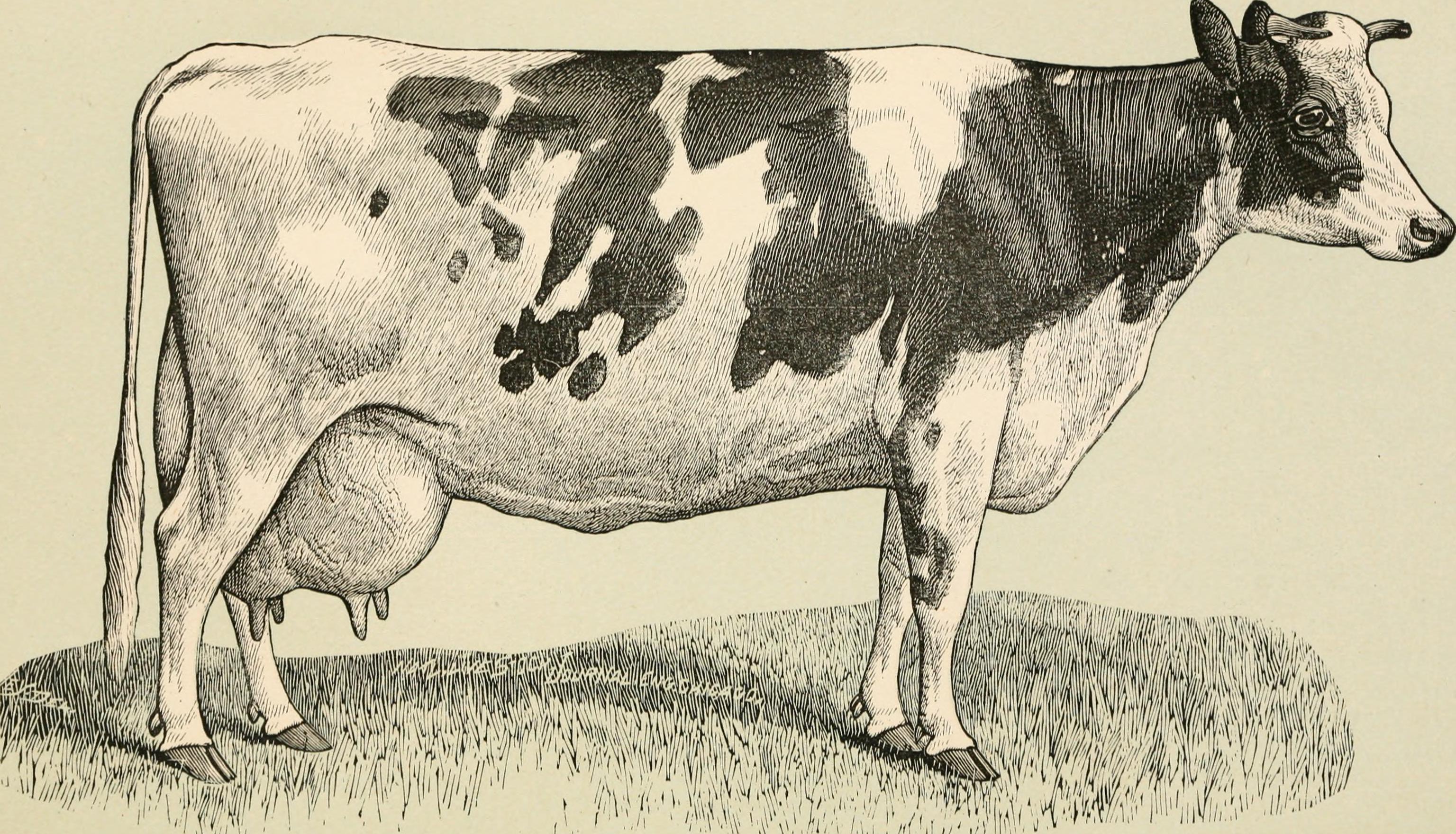 Holstein-Rind – Wikipedia